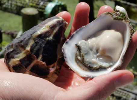POMS Proofing SA Oyster Industry
