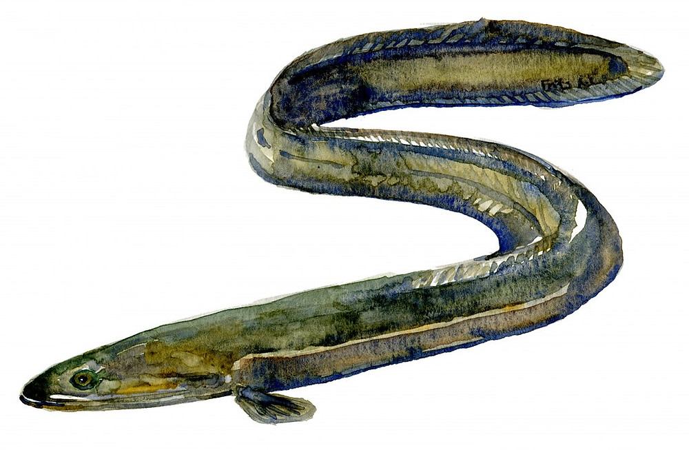 European Eel - Critically endangered_ by Frits Ahlefeldt - FritsAhlefeldt.com is licensed under CC BY-NC-ND 2.0