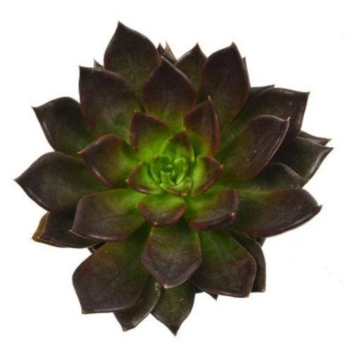 "Echeveria 'Black Prince' - 2.5"""