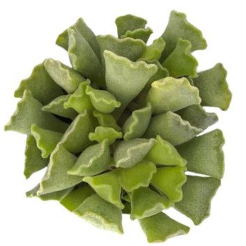 "Adromischus cristatus ""Key Lime Pie"" - 2.5"""