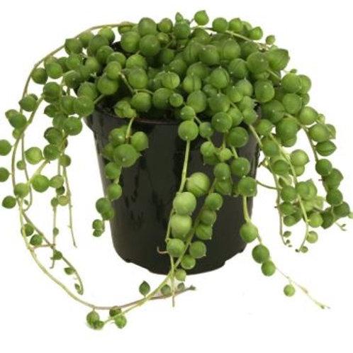 """String of Pearls  ( Senecio Rowleyanus ) 2.5"""""""