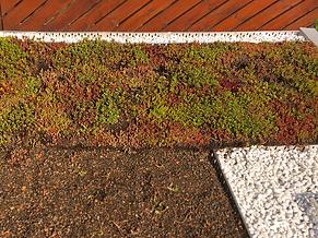 rozchodniky-koberec-zelená-střecha.png