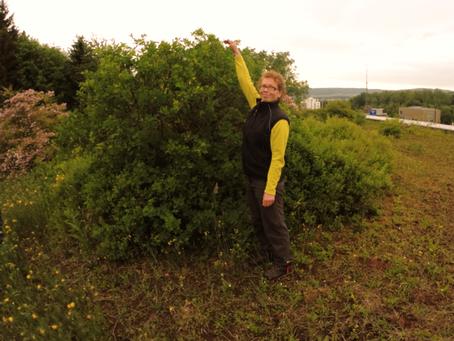 Náletové rostliny na zelené střeše, aneb od čistě rozchodníkového koberce po biodiverzní variantu.