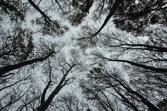 Clé d'identification des arbres en hiver