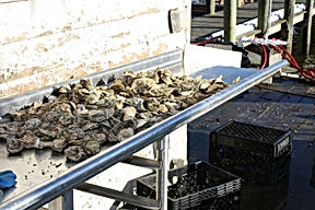 Oysters being sorted