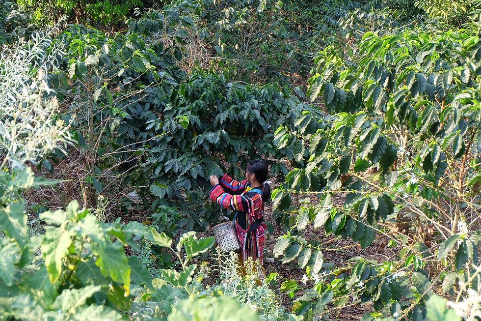 Thai Coffee farm.jpg