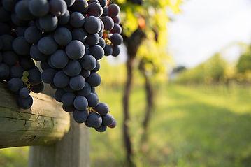 vino-sangiovese1.jpg