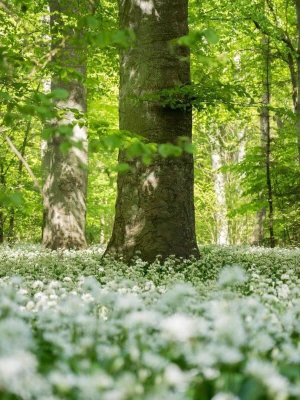 Ramsløg-Træer-Skovbegravelsesplads-Havnø-Gods