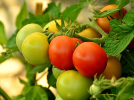 7 Organic Gardening Tips for Your Best Tomato Crop Ever