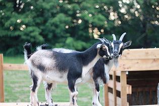 Goats at the Farm Retreat