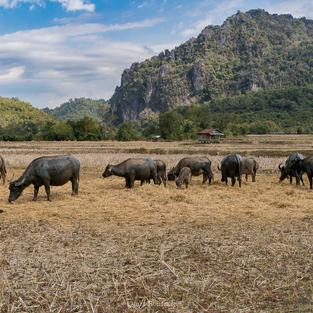 Bufali d'acqua