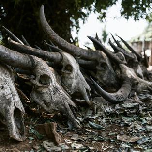 Teschi di Bufalo come ornamento
