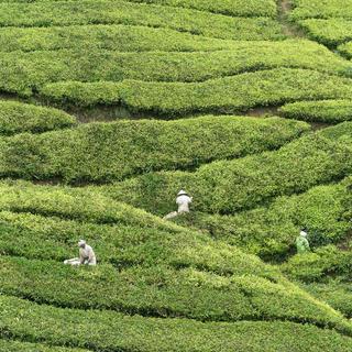La raccolta a mano del Tea