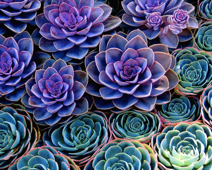 - In botany, succulent plants, also known as succulents or sometimes fat plants, are plants having some parts that are more than normally thickened and fleshy, usually to retain water in arid climates or soil conditions