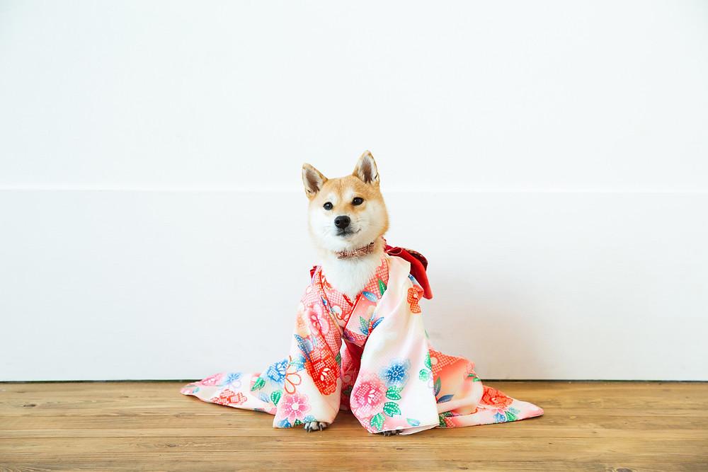 滋賀県長浜市のフォトスタジオと長浜八幡宮で成人前撮り撮影をペットのワンちゃんたちとしました