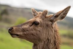 Red Deer, Scotland