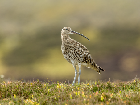 The worrying decline of The Curlew – are we hearing their last calls