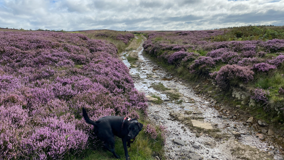 Understanding Yorkshire's stunning heather moorland…