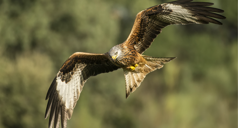 Red Kites thriving in Yorkshire