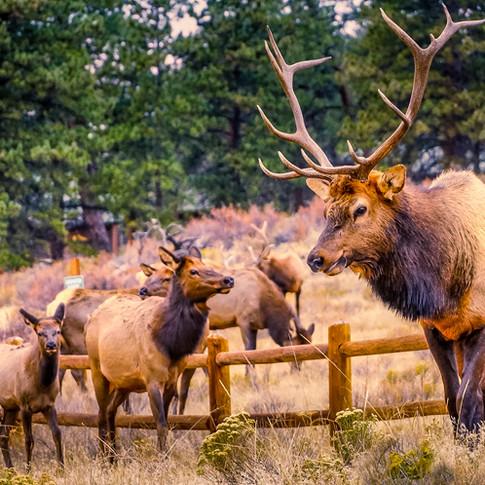 Elk Herd - Estes Park