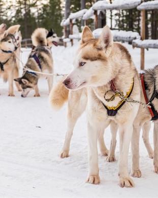 Saami Village and Husky Farm 3.jpg