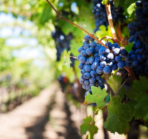 purple-grapes-vineyard-napa-valley-napa-vineyard-39511_edited.jpg