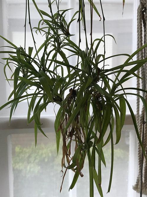 Spider plant baby