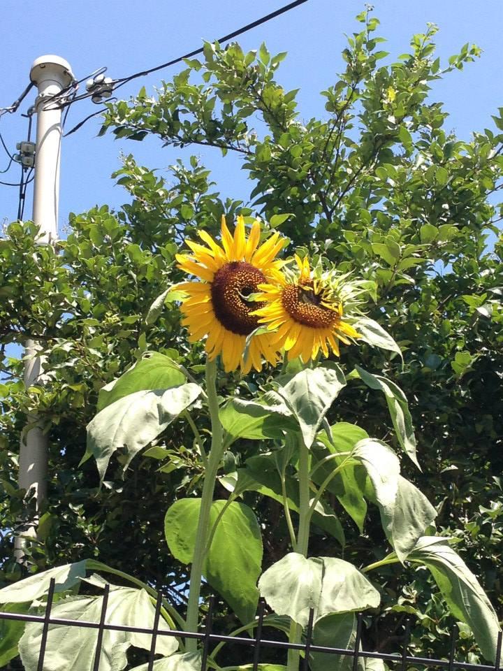 種から育てる地域の花づくり