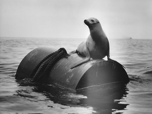 Sea Lion Vintage Photo: No. 001