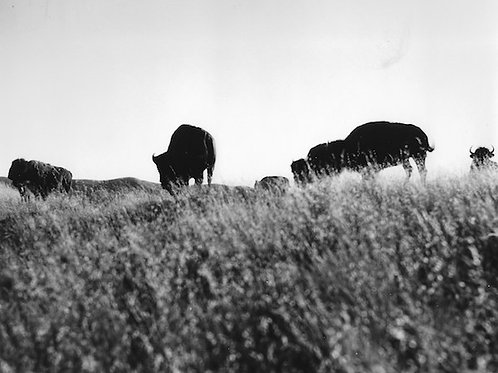 Catalina Bison Vintage Photo No. 008