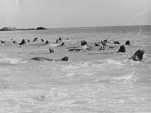 Sea Lion Vintage Photo: No. 007