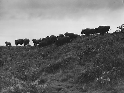 Catalina Bison Vintage Photo No. 009