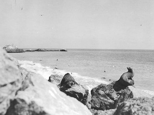 Sea Lion Vintage Photo: No. 008