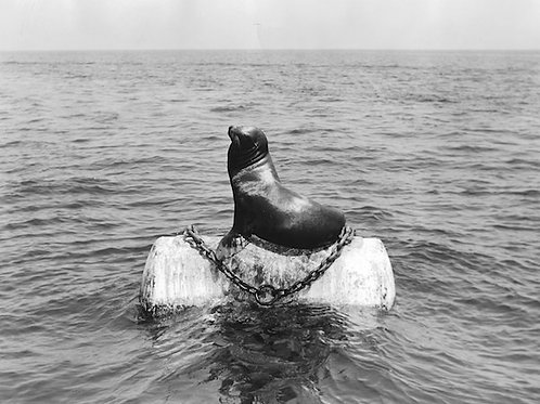 Sea Lion Vintage Photo: No. 009