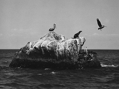 Sea Lion Vintage Photo: No. 002