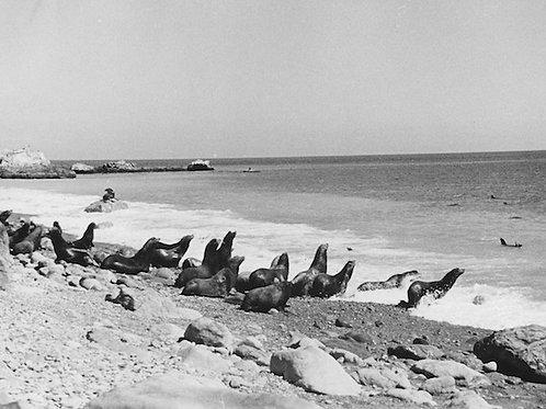 Sea Lion Vintage Photo: No. 004