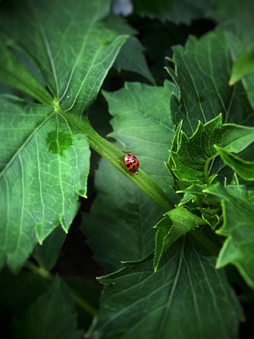 ladybuy