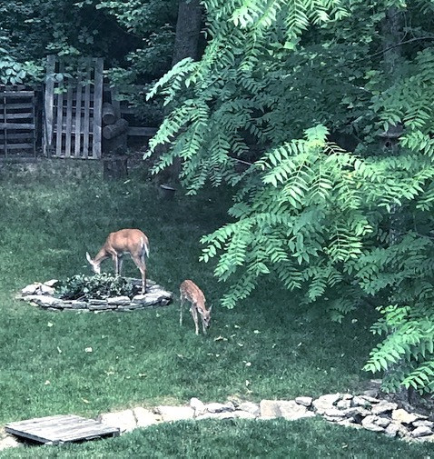 momma and baby deer eating again