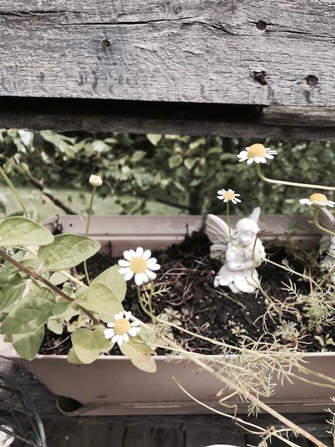 growing chamomile