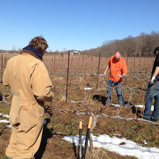 Trimming vines at FRW