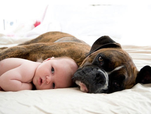 How To Prep Your Boxer For A Baby