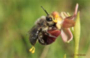 Ophrys polinitzador.jpg