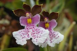 Oncidium phalaenopsis