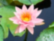 beau-lotus-fleurissant-dans-etang_1323-1