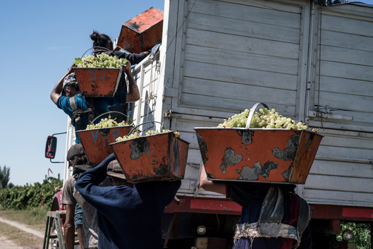 The harvesters line up to unload the grapes.