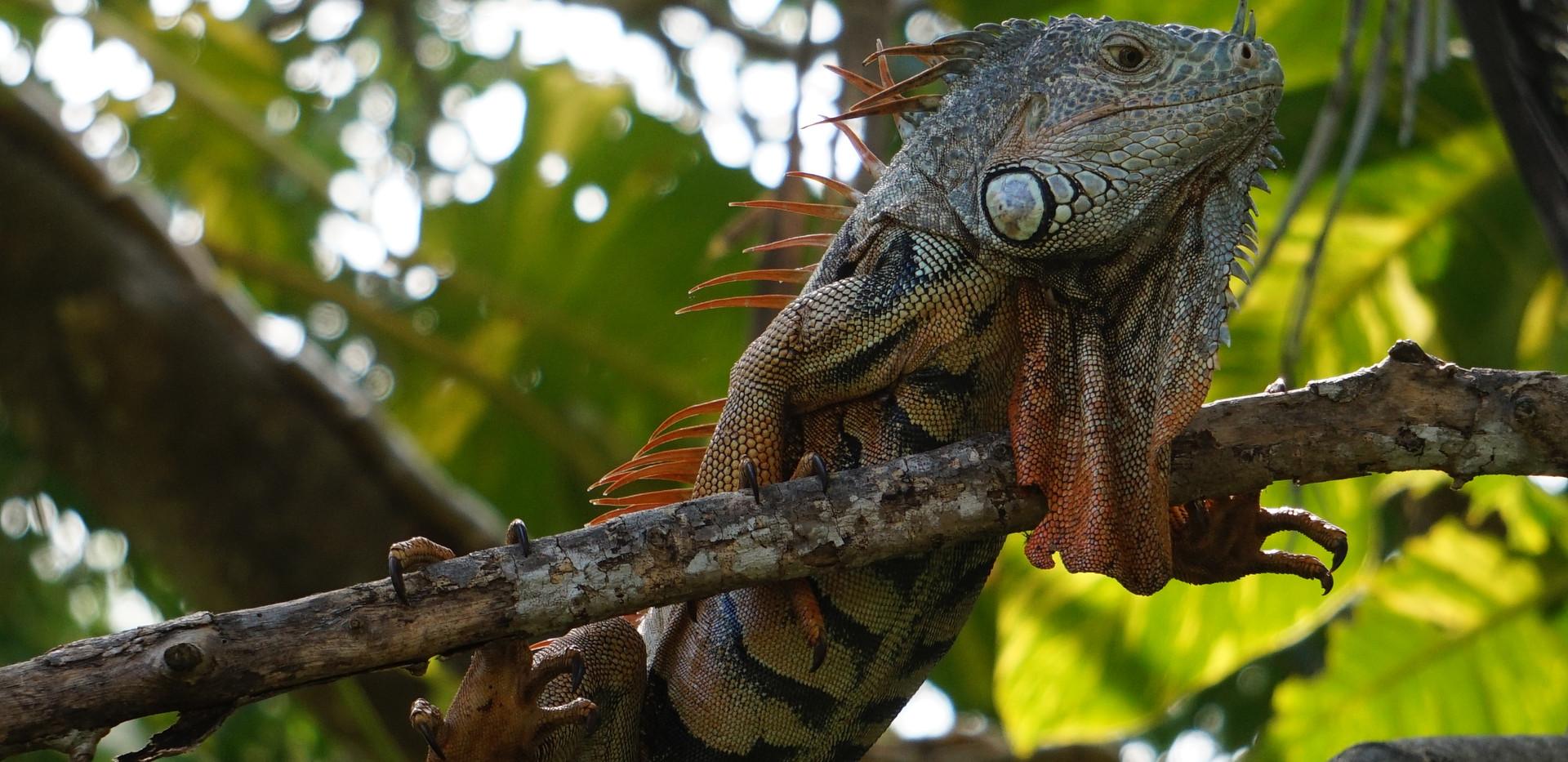 Majestueux Iguane.JPG