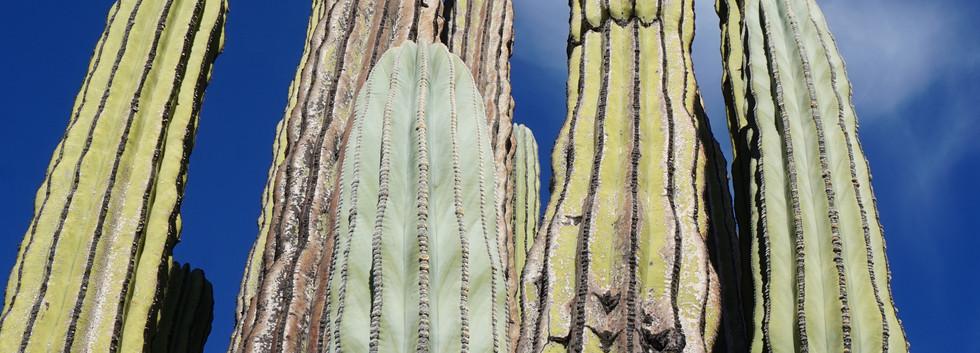 Cactus_géant.JPG