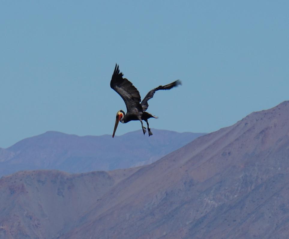 Pelicans en attaques.JPG