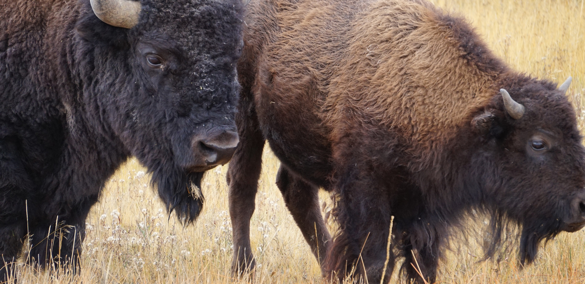 Yellowstone bisons.JPG