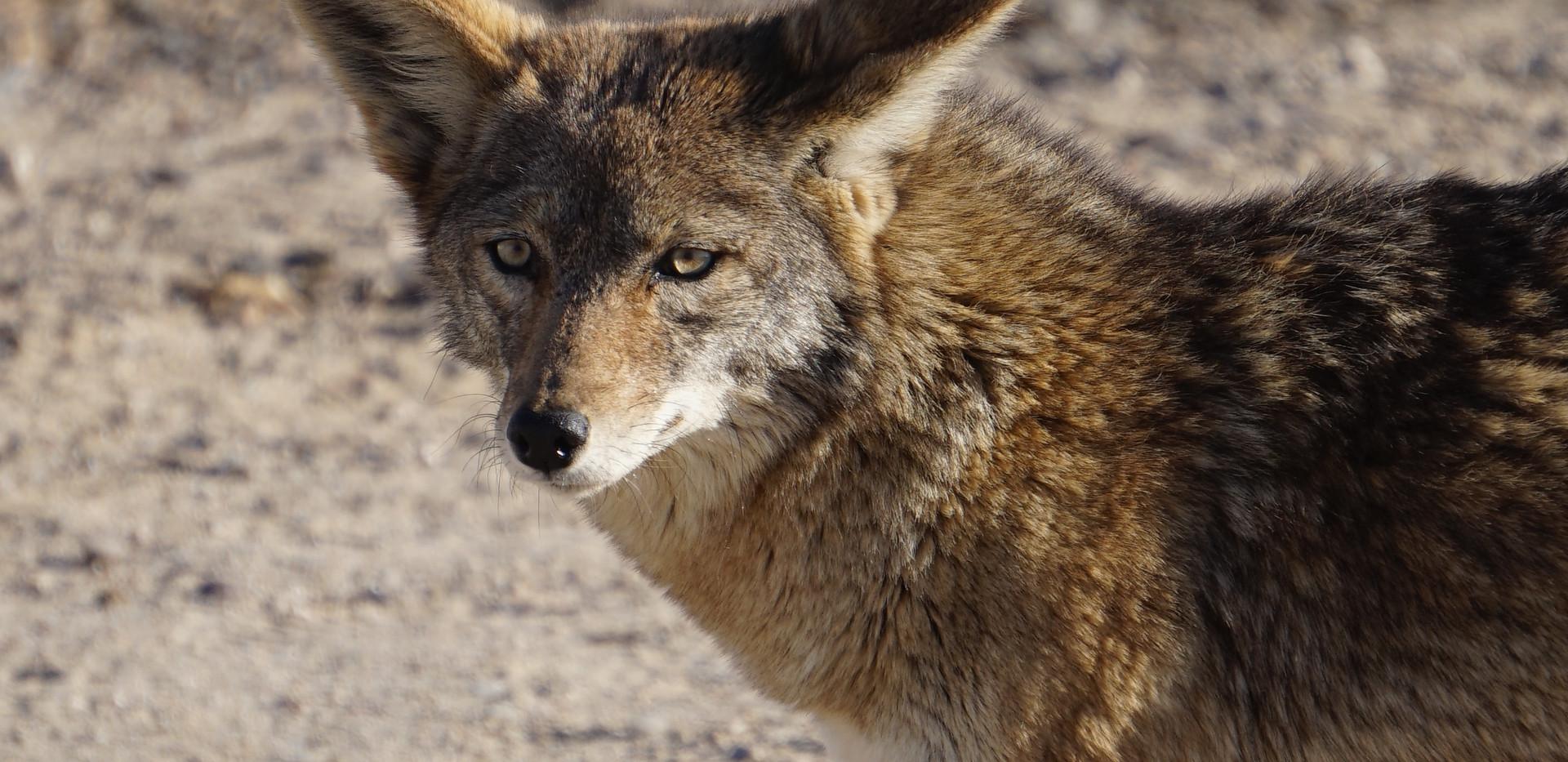 Coyote attentif.JPG